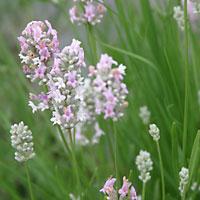 antonieta-lavanda-lavender