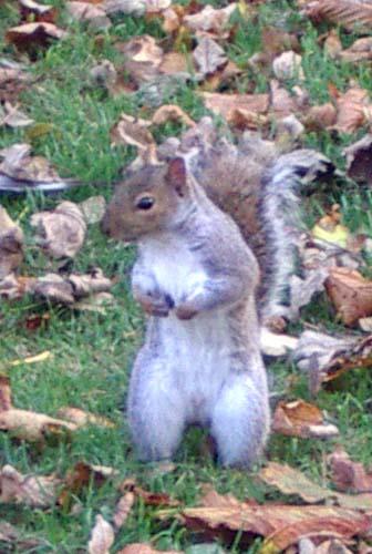 ardilla-gris-squirrel-pie