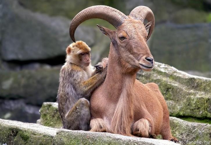 cabra_mono_monkey_goat