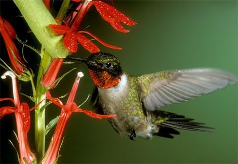 colibri-hummingbird