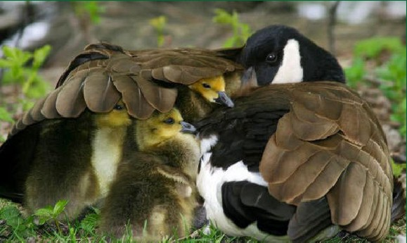 ducks-patitos-ala-madre-wing