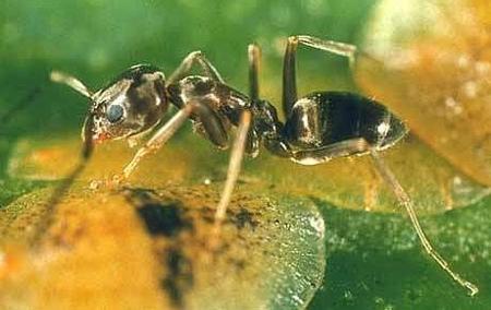 hormiga-iridomyrmex-humilis-01