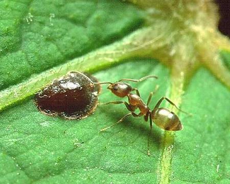 hormiga-iridomyrmex-humilis-02