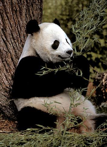 panda_comiendo_bambu