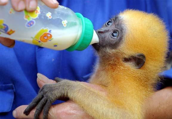 vietnam_zoo_gibbon