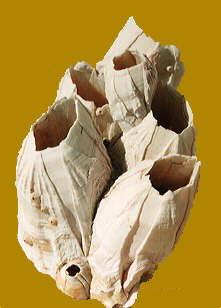 balanos balanus perforatus bellotas de mar 3