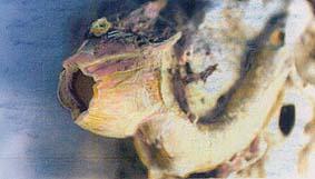 balanos balanus perforatus bellotas de mar 5