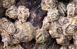 balanos balanus perforatus bellotas de mar 6