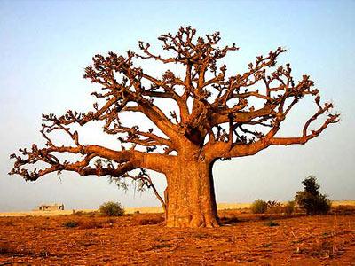 baobab-arbol-1