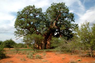baobab-arbol-2