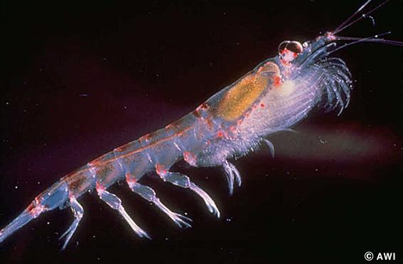 krill-plaga