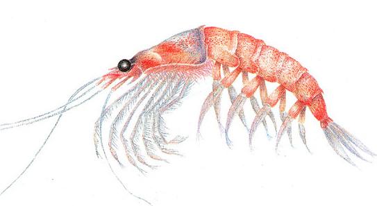 krill-shrimp