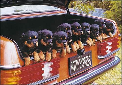 muchos-perritos-perros-30