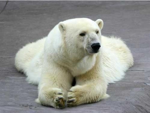 oso polar pelo pelaje blanco