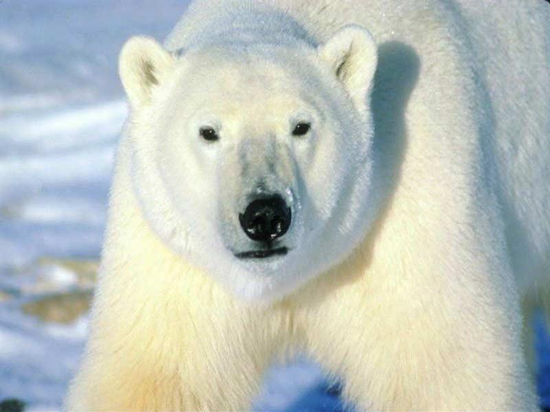 polar-bear-oso-polar-big