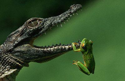 sorprendente imagen cocodrilo rana