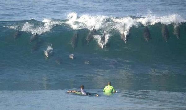 sorprendente imagen surf delfines