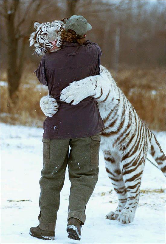 sorprendente tigre