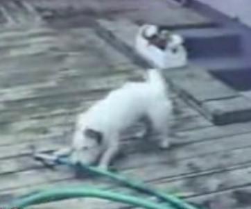 video inteligencia perros