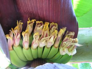 banana mona lisa platano