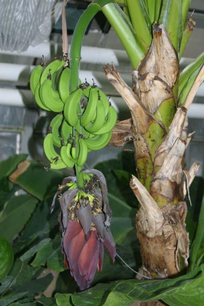 banana platano musa-acuminata