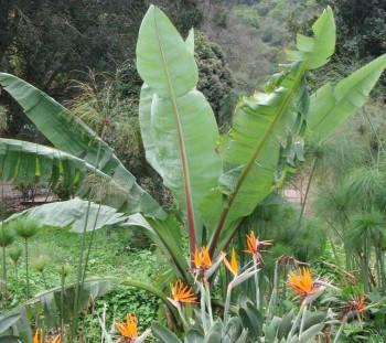 banana platano planta