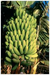 bananera platanera