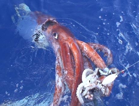 calamar-gigante-giant-squid