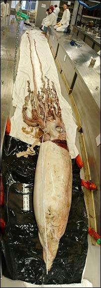 calamar-gigante-squid-Architeuthis-dux