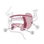 ¿Cuáles son las propiedades de la saliva?