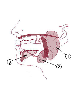 glandulas salivares boca saliva