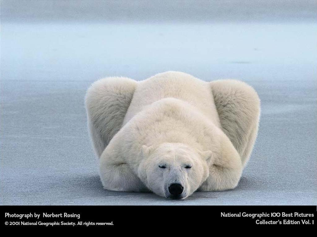 oso-polar-bear-03