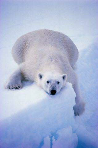 oso-polar-bear-04