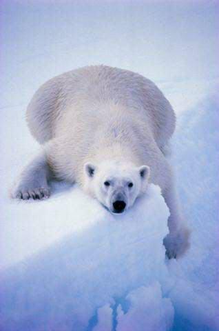oso-polar-bear-04