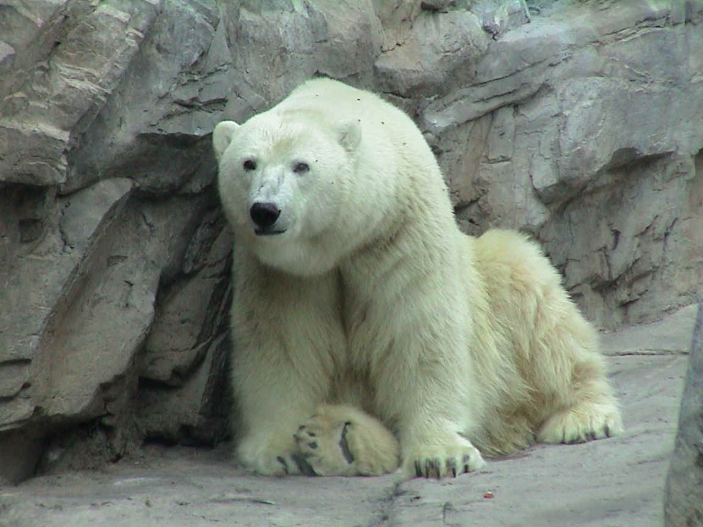 oso-polar-bear-06