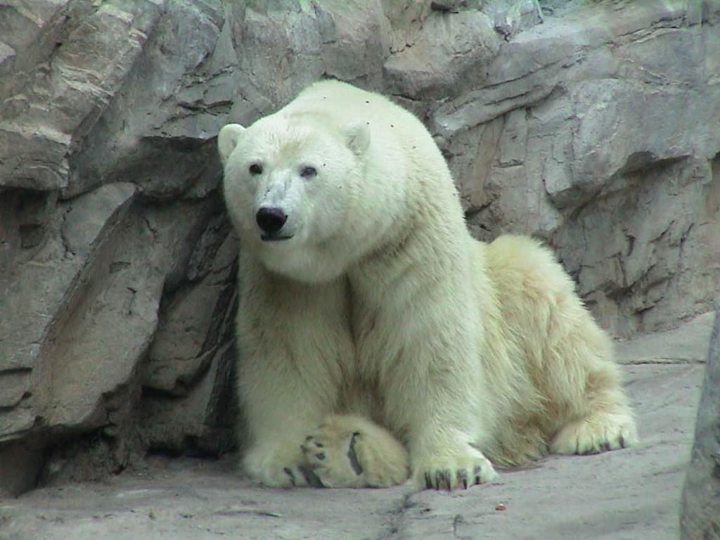 oso-polar-bear-06