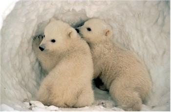 oso-polar-bear-07