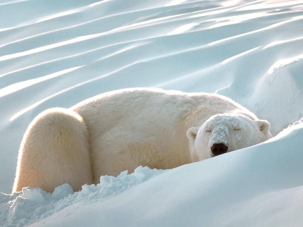 oso-polar-bear-09