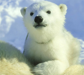oso-polar-bear-cachorro