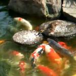 El pato que alimenta a los peces