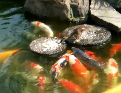 pato alimentando peces