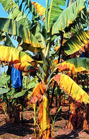 plataneras bananeras enfermas