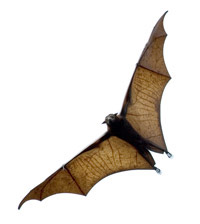 alas-bat flyin volando murcielago