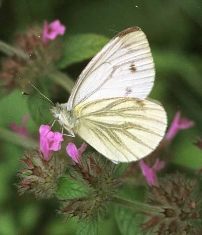 alas-mariposa
