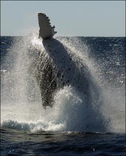 ballena-cazada-2007-arpon-siglo-xix
