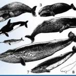 Una ballena tenía un arpón del siglo XIX
