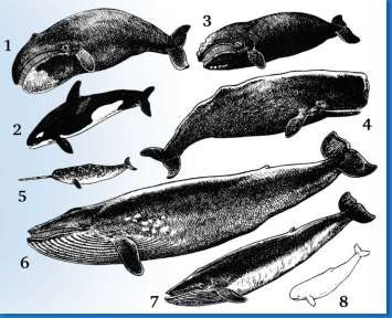 ballenas clasificaciones