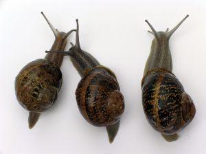 caracol reproduccion