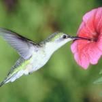 El cerebro del colibrí preparado para volar en suspensión