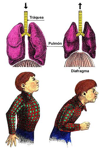 estornudo pulmones diafragma